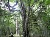 森の中の巨木